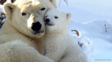 Polar Bear Love GIF   Find & Share on GIPHY