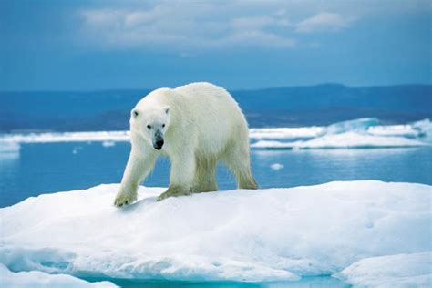 Polar Bears | Ice Stories: Dispatches From Polar Scientists