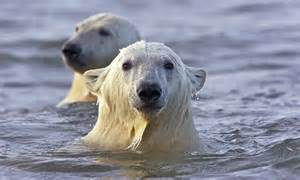 Polar bears take one final frolic in the water before ...