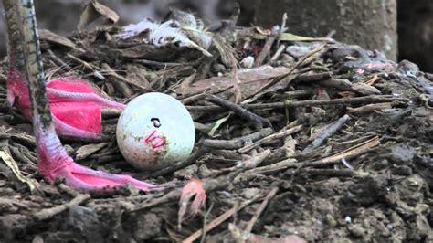 Polluelo de Flamenco picando el huevo en el Zoo de ...