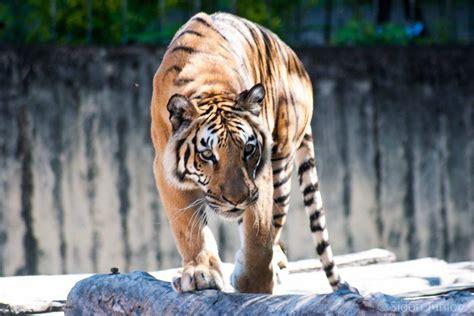 População de tigres na Índia cresce mais de 30% em quatro ...