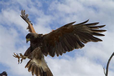Popular Raptor Free Flight Presentations Begin October 17 ...
