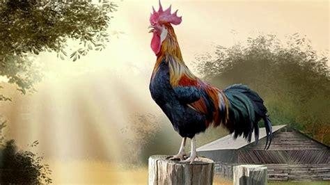 Por qué canta el gallo al salir el sol // hoyensabiasque ...