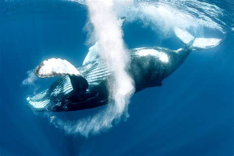 ¿Por qué cantan las ballenas jorobadas? – Español