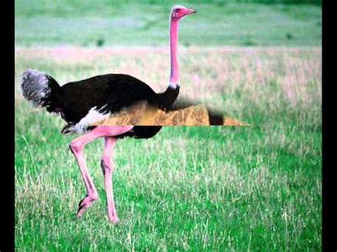 Por qué el ave más grande del mundo no vuela   YouTube