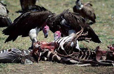 POR QUE LOS ANIMALES CARROÑEROS PUEDEN COMER CARNE ...