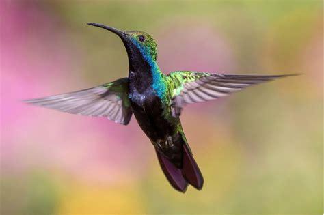 Por qué los colibrís vuelan tan rápido   ELESPECTADOR.COM