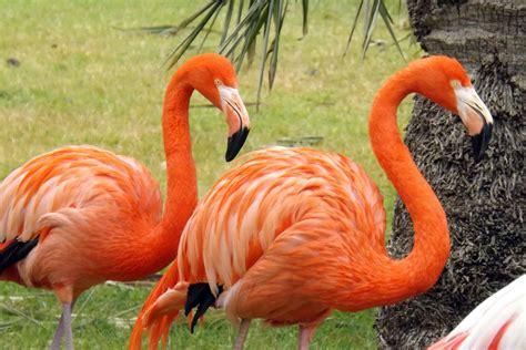 ¿Por qué los flamencos son rosas?   Curiosoando