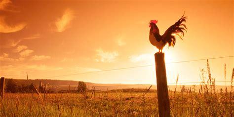 ¿Por qué los gallos cantan al amanecer? – Tropicalísima 13 50