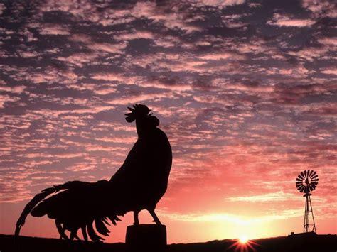 Por que los gallos cantan en las horas de la mañana?