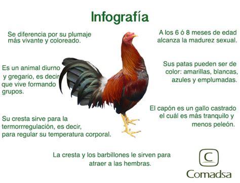 ¿Por qué los gallos cantan en las mañanas? ️ » Respuestas ...