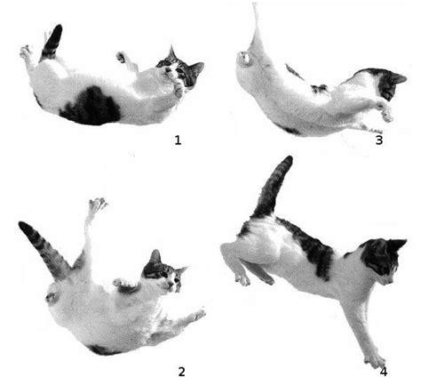 Por qué los gatos caen de pie   4 pasos