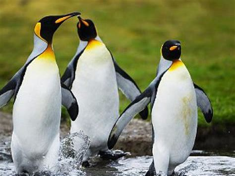 ¿Por qué los pingüinos no vuelan?