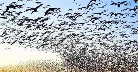 ¿Porque las aves hacen la migración? | Agapornis ...