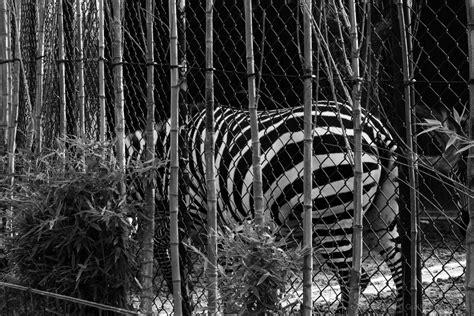 Porto_Zoo da Maia_Zebra_192 Foto de Guilherme Santos ...