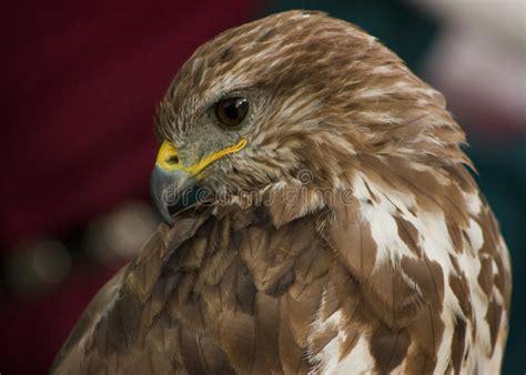 Portrait Of A Beautiful Raptor Or Bird Of Prey Stock Image ...