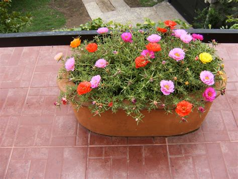 Portulacas. Plantas de sol pleno. | Jardinería | Pinterest ...