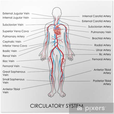 Póster Sistema Circulatorio • Pixers   Vivimos para cambiar