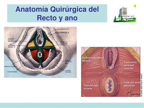PPT   Anatomía Quirúrgica del Recto y ano PowerPoint ...
