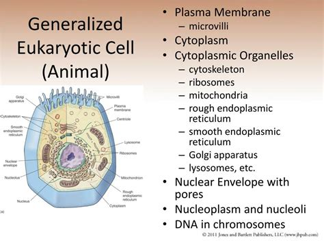 PPT   Chapter 9 Eukaryotic Cells and Multicellular ...
