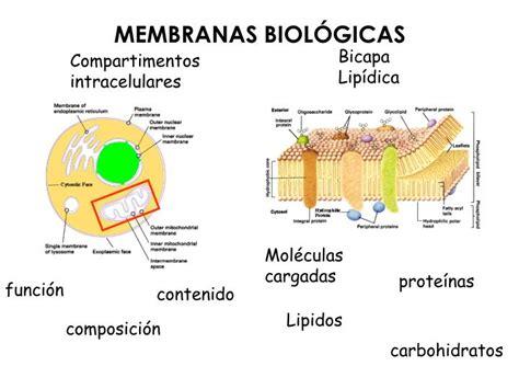 PPT   MEMBRANAS BIOLÓGICAS PowerPoint Presentation   ID ...