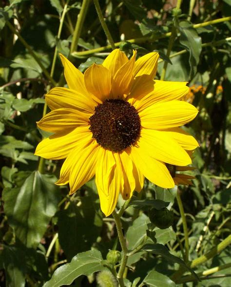 Prairie Sunflower  Helianthus petiolaris  | Applewood Seed ...