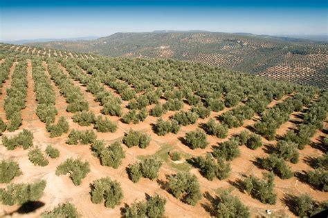 Precio de las tierras de olivar en España | INGENIEROS y ...