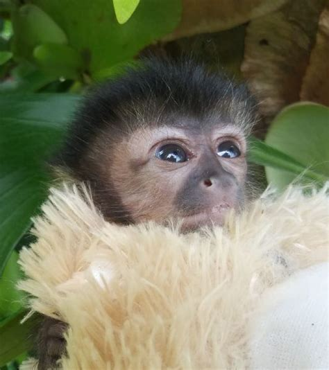 Primate Store   Monkeys for sale