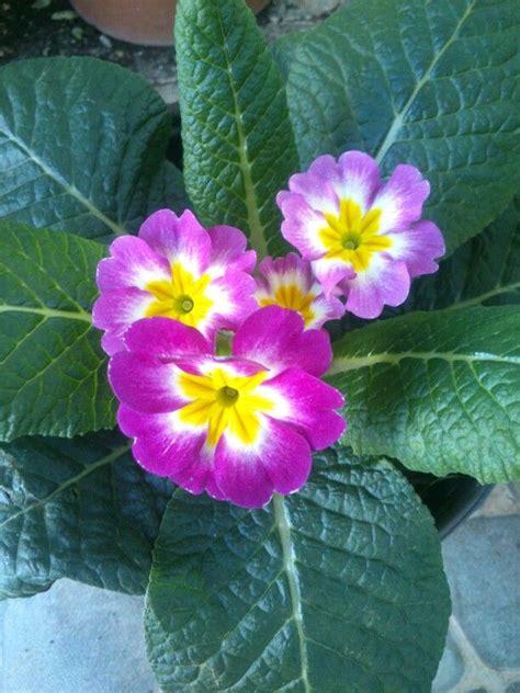 Primula. Planta de sombra/medio sol, riego dos veces por ...