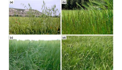 Principales malas hierbas y su gestión en cereales de ...