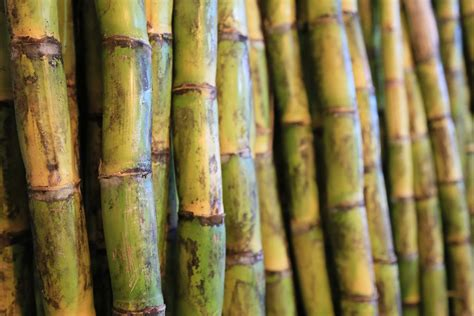 Producción de caña de azúcar supera los 55 millones de ...
