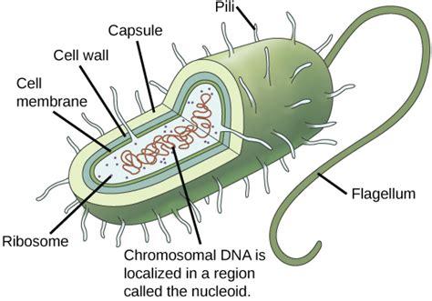 Prokaryotes and Eukaryotes | Biology for Non Majors I