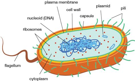 Prokaryotic Cell Structure and Function | Shmoop