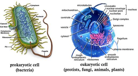 Prokaryotic Cell vs Eukaryotic Cell