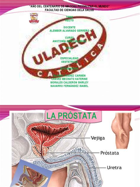 prostata y vejiga 4 | Próstata | Anatomía