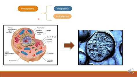 Protoplasma y Citoplasma   YouTube