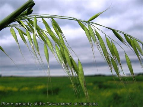 Province of Manitoba   agriculture   Wild Oats