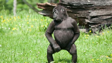 PsBattle: This Dancing Gorilla : photoshopbattles
