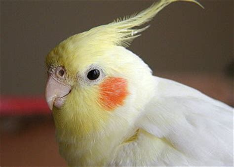 Ptice: NIMFA  PAPAGAJ