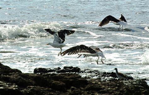 Puerto Cangrejo: Cacería fotográfica: Aves costeras...en ...