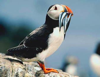 Puffin | The Life of Animals
