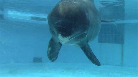 Pygmy Killer Whale Interacting ユメゴンドウ 沖縄美ら海水族館  12/16/17 ...