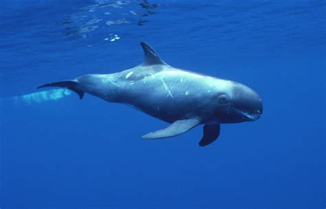 Pygmy Killer Whale photos