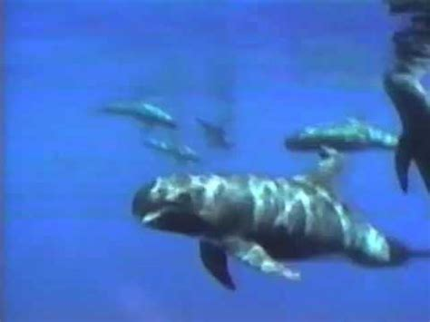 Pygmy Killer Whales and Sperm Whales   YouTube