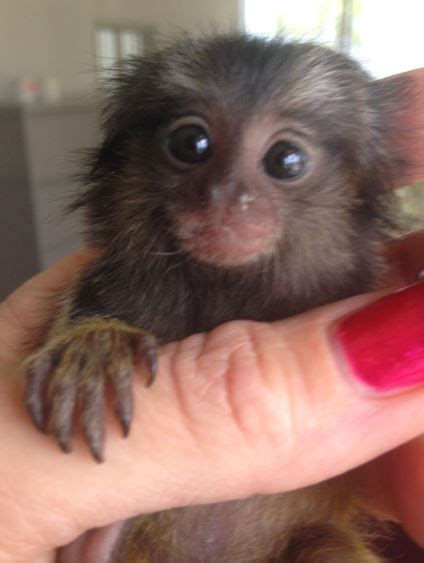 Pygmy Marmoset    oh my gosh! you can buy these adorable ...
