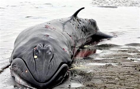 Pygmy Right Whale –  OCEAN TREASURES  Memorial Library