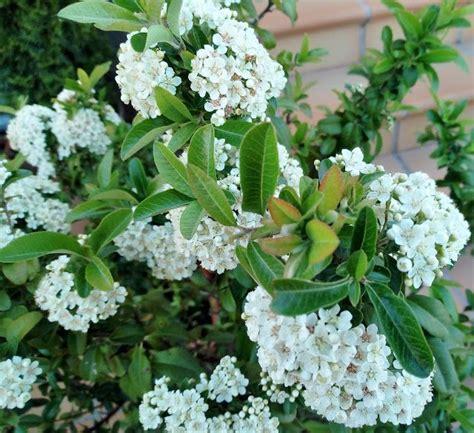 Pyracantha coccinea M.Roem. | Arbustos de hoja perenne ...
