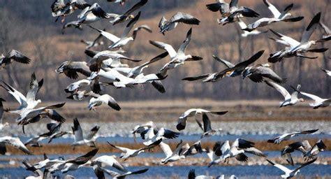 ¿Qué aves migran en el invierno?