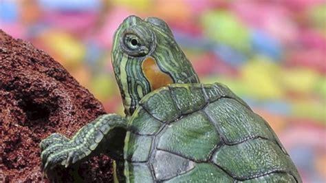 Qué comen las tortugas de agua   YouTube