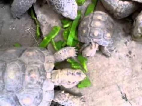que comen las tortugas de tierra   YouTube